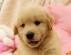 高端金毛犬,性格温顺,纯种健康,价格公道