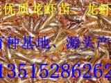 **小龙虾苗 虾种  虾苗 龙虾苗价格 提供龙虾养殖技术 包回收