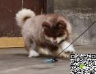 格力犬纯正健康出售-幼犬出售,当地可以上门挑选