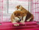 本地出售日系秋田犬出售高品质幼犬可上门挑选可签订购犬合同