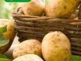 供应 农家马铃薯黄心洋芋