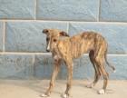 专业繁殖灵缇犬CKU认证犬舍血统纯保健康签协议质保