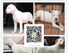 纯种杜高犬 野性的象征 专业繁殖猛犬猎犬基地