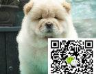 宝鸡松狮犬出售宝鸡松狮犬多少钱宝鸡松狮价格哪里能买到纯正松狮