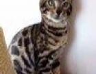 孟加拉豹猫妹妹找新家
