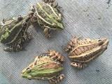 安徽青蛙种苗供应,安徽青蛙养殖基地青蛙养殖技术视频