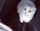 高白折耳虎斑公猫