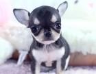 重庆纯种吉娃娃价格 重庆哪里能买到纯种吉娃娃犬