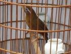 贵州本地宠物鸟画眉鸟唱鸟熟鸟