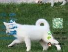 哪里有专门养秋田犬的 纯种的多少钱一只