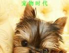 超小体约克夏犬、金头银背、茶杯体约克夏幼犬销售