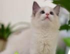活体布偶猫自家猫舍喂养品质有保证纯种