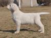正规狗场繁殖拉布拉多