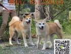 银川纯种秋田犬多少钱 纯种秋田犬图片 纯种日本秋田犬幼犬