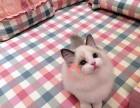 哈尔滨买卖宠物地方 哈尔滨哪里卖健康布偶猫价格便宜