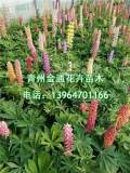 羽扇豆批发市场在哪|好的羽扇豆金通花卉苗木供应