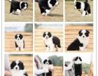 狗场直销博美 金毛 拉布 哈士奇等30多个品种的犬