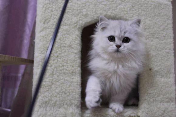 西安哪里有金吉拉猫卖 猫舍直销 健康活泼 包纯种 保养活