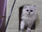 郑州哪里有金吉拉猫卖 猫舍直销 健康活泼 包纯种 保养活