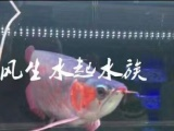 金龙鱼活体鱼苗
