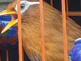 出售贵州鸟,唱鸟,半熟鸟,生头鸟