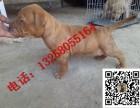 台州哪里有卖纯种比特犬幼犬多少钱一只 比特犬图片视频