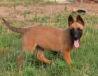 昆明马犬养殖基地,昆明马犬价格,昆明马犬多少钱一只