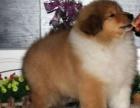 自家大狗生的一窝5只苏牧犬宝宝免费找人领养 上海本地的上门来