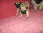 巴哥犬专业繁殖 可基地挑选 签协议包健康 送用品