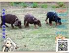 买纯种杜宾犬 保纯保健康-可签订质保协议
