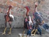 云南斗鸡养殖场出售越南斗鸡、斗鸡苗