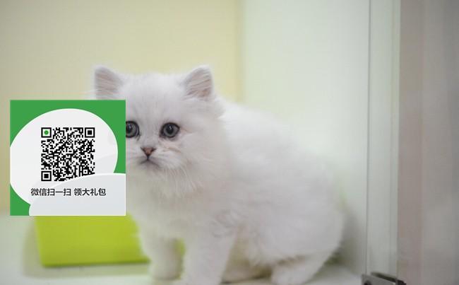 镇江在哪里卖健康纯种宠物猫 镇江哪里出售金吉拉
