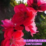 观赏桃花树苗3公分红叶碧桃优良品种