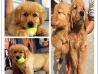 惠州哪里有宠物狗出售 惠州金毛多少钱一只 惠州宠物店