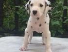 重庆出售2 4个月幼犬(斑点)疫苗齐签协议