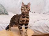 重庆万州纯血豹猫出售