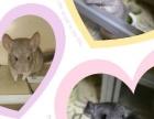 出售自家繁殖龙猫幼崽