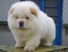 重庆哪里卖松狮幼犬多少钱重庆松狮怎么卖松狮图片