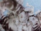 家中自养川字背蝴蝶纹花色好美短银虎斑猫