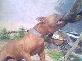比特犬养殖河南比特犬养殖场