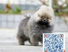 高品质纯种博美幼犬终身保障可来场选质保三年