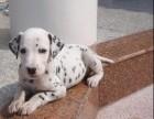温州哪有斑点狗卖 温州斑点狗价格 温州斑点犬多少钱
