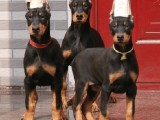 绵阳最大杜宾犬养殖基地 纯种健康 品相一流