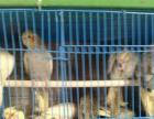 文山本地长期批发各种大中小型鹦鹉和各种小动物