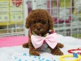 哪里可以买到家养的泰迪犬要纯一点的