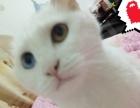 异瞳波斯猫纯白色
