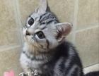 美短标准银虎斑小母猫找新家,可来家看猫