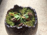 奇趣食虫植物捕蝇草微盆景 创意礼品 绿植盆栽