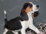 上海闵行区榛果犬业 专业犬类养殖,比格犬诚信出售!