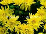 河南国庆菊——供应各种规格国庆菊